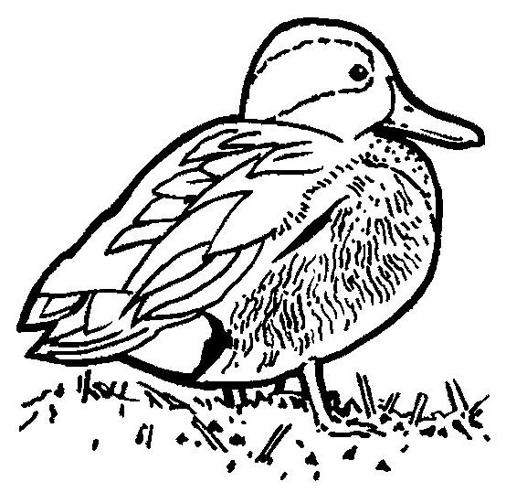 Disegno 1 di anatre da stampare e colorare