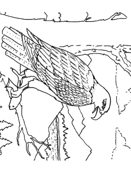 Disegno 1 di aquile da stampare e colorare