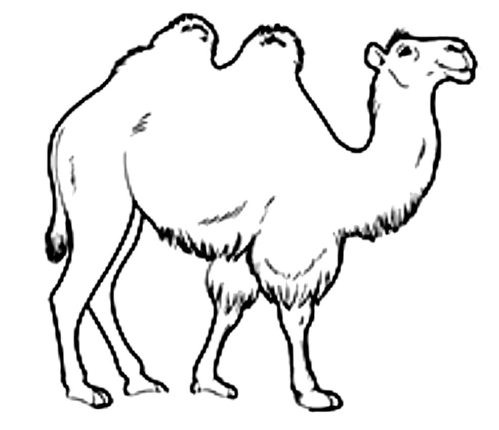 Disegno di cammelli da stampare e colorare