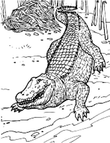 Disegno 18 di coccodrilli da stampare e colorare