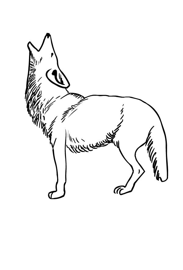 Disegno di coyote da stampare e colorare