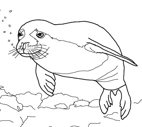 Disegno 23 di foche da stampare e colorare