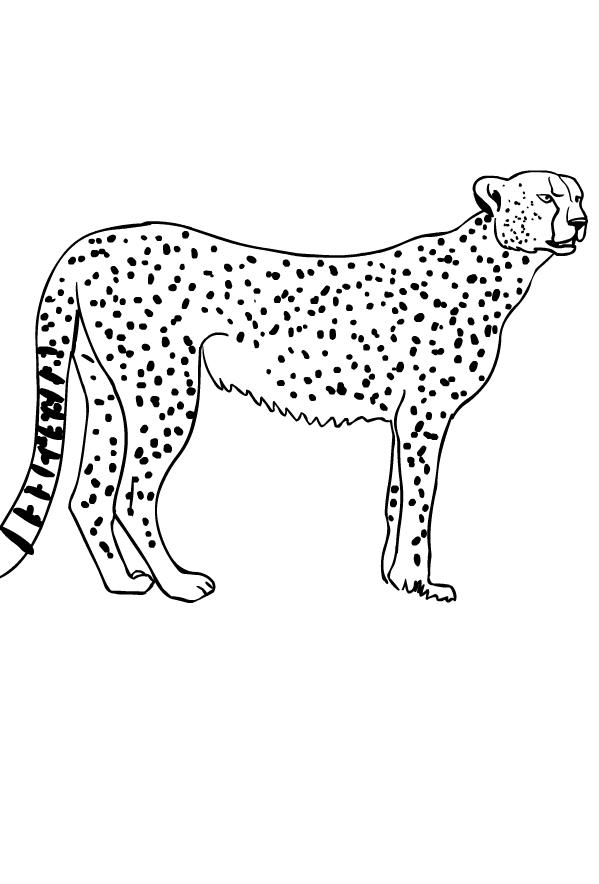 Disegno di ghepardi da stampare e colorare