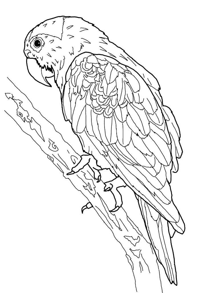 Disegno 2 di pappagalli da stampare e colorare