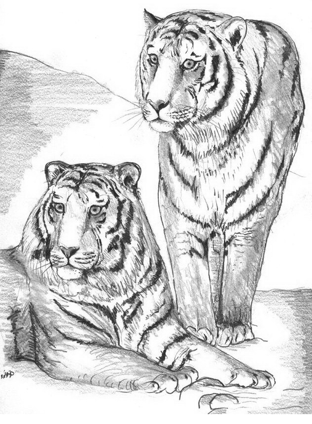 Coloriage 12 Des Tigres