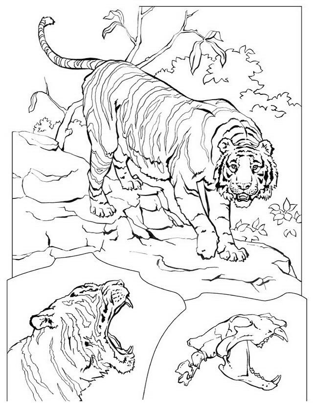Disegno 21 di tigri da stampare e colorare