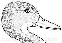 Dibujo de pato realista para colorear